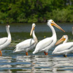 pelicans on the horseshoe chain